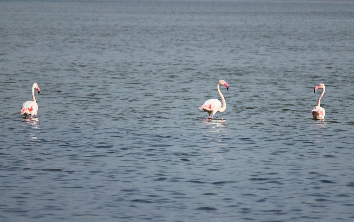 Flamingosterben auf Formentera