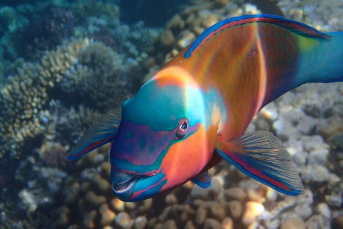 Papageienfisch immer häufiger vor Formentera zu finden